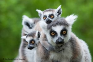 Photo of a ringtail lemure and her babies with the caption: Contributing to the preservation of an endangered species by restoring its habitat could provide a far more compelling reason to favour one supplier over another than any discussion about climate change.